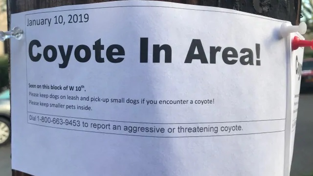 coyote-in-area