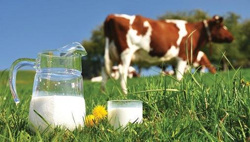 milk_cow_copy
